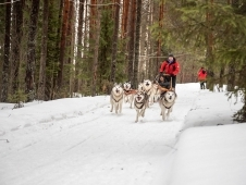 Dog sledding in Russia